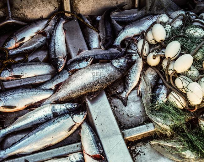 Fresh salmon fish in a fishing boat