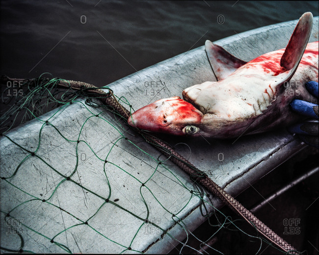 Close up of a dead shark on a boat