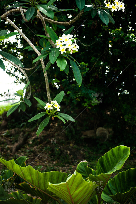 White and yellow small flowers of a tree in Barbados