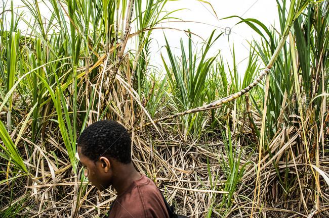 Barbados - May 22, 2008: Man walking in a sugarcane plantation
