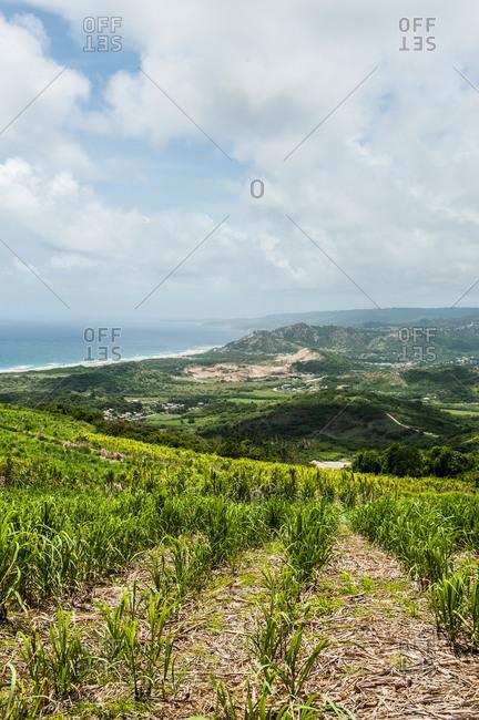 Landscape with a sugarcane plantation in Barbados