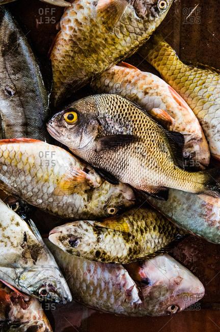 Freshly caught fish at fish market, Barbados