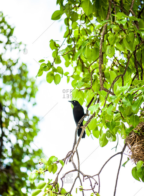 Low angle view of Carib Grackle on tree, Barbados