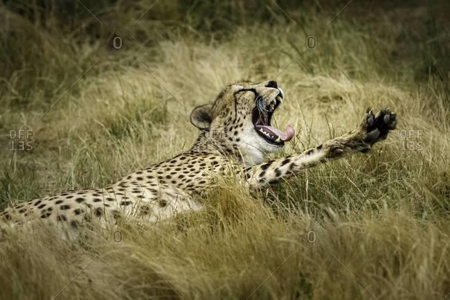 Close up of a yawning cheetah