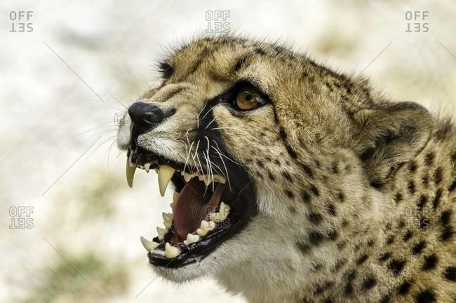 Close up of a roaring cheetah