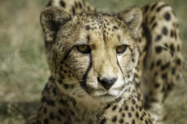 Close up of a cheetah lying in the grass