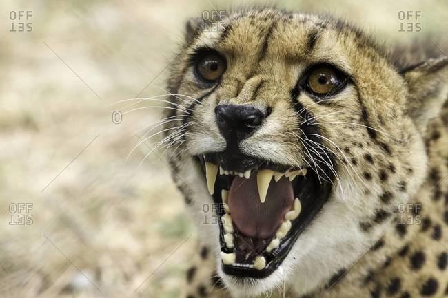 Close up of an aggressive cheetah