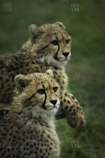Close up of two cheetah cubs