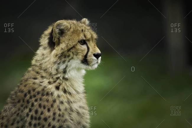 Close up of a watchful cheetah
