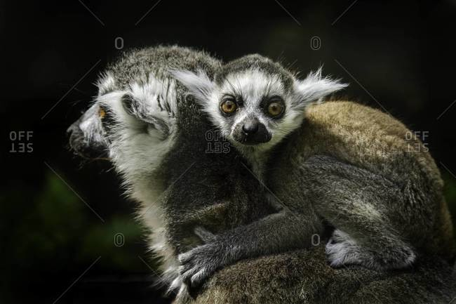 Ring-tailed lemur and its baby