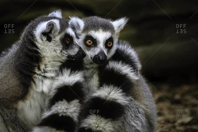 Ring-tailed lemurs huddled together