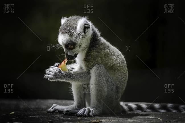 Juvenile ring-tailed lemur eating a fruit