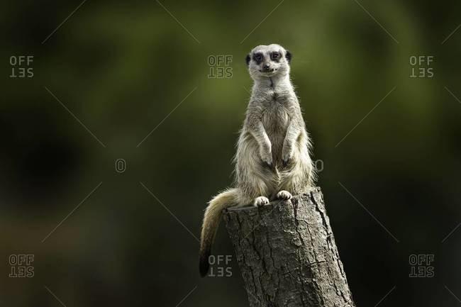 Meerkat sentry on a tree