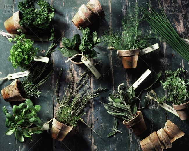 Assorted culinary herbs in terracotta pots