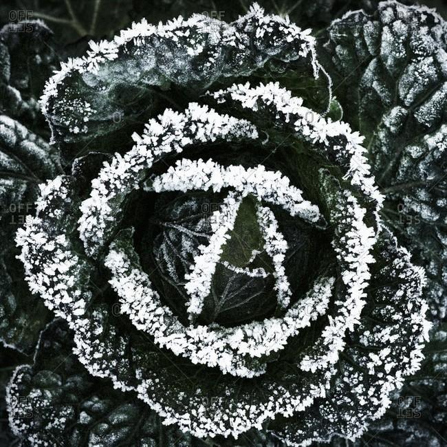 Winter cabbage