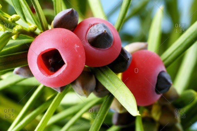 Yew fruits on the branch