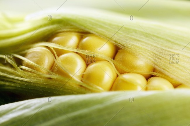 Close up of corn on the cob with husks