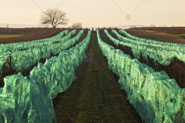 Sweet wine grapes protected with netting in a vineyard in Illmitz, Burgenland