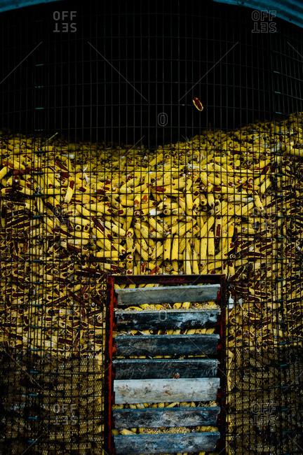 Corns drying in a corn crib