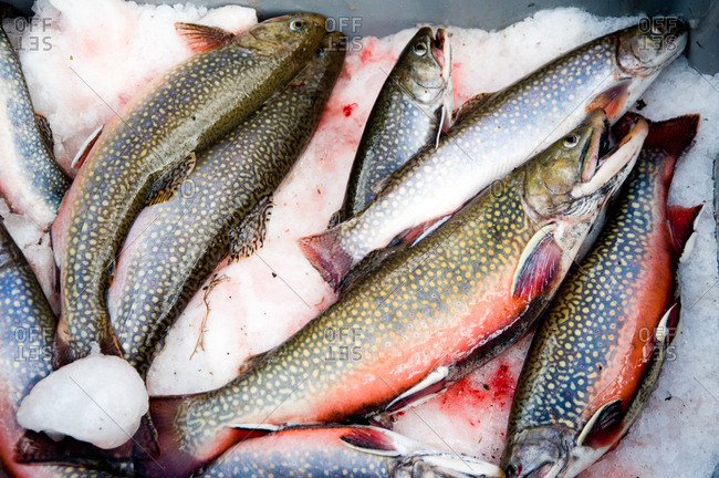 Fresh brook trouts on ice