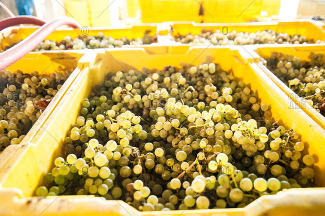 Heaps of grapes in plastic crates