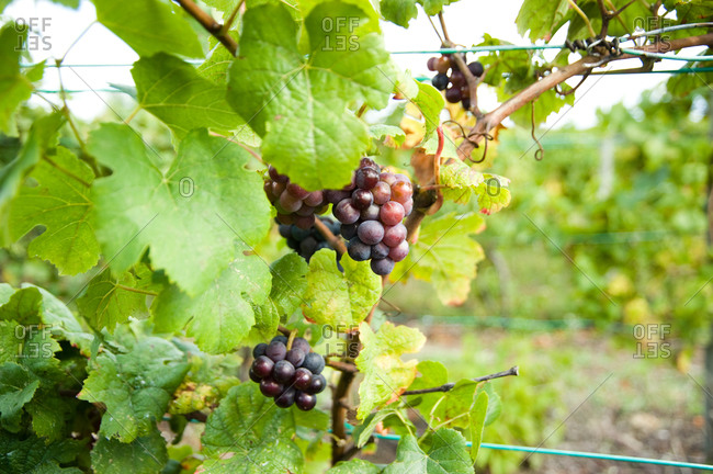 Close up of grapes hanging on vine