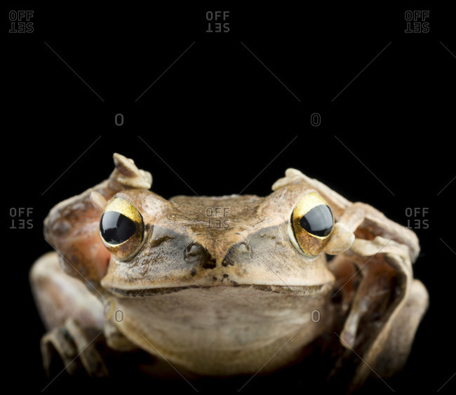 Spot-legged Polypedate tree frog, isolated on black background
