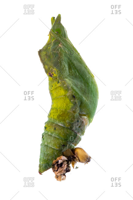 Close up of a Common Mormon butterfly (Papilio polytes) butterfly chrysalis