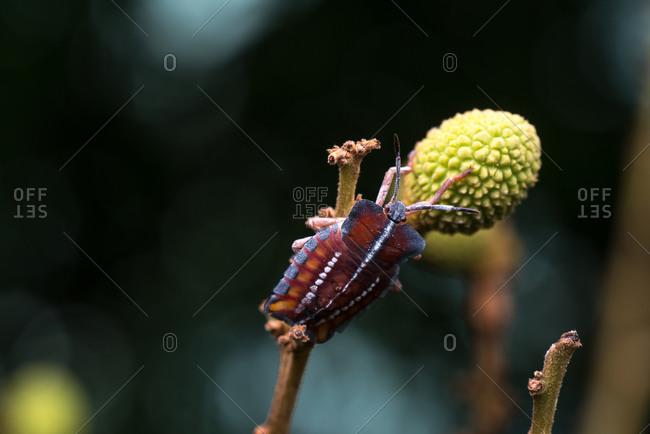A stink bug on longan fruit