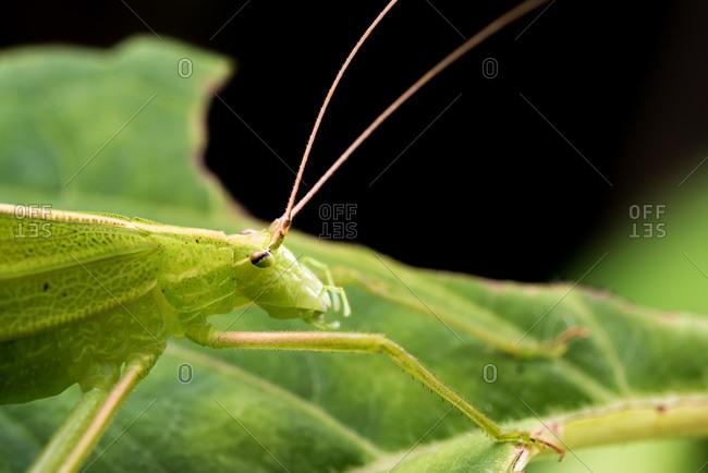 Green katydid macro - Offset Collection