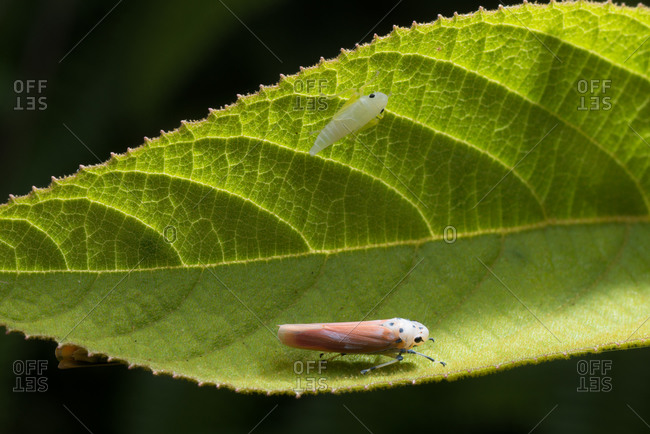Insect treehopper (Bothrogonia qiongana) and it\'s nymph on leaf