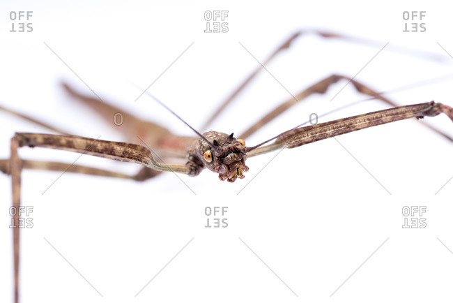 Brown walking stick insect, isolated on white