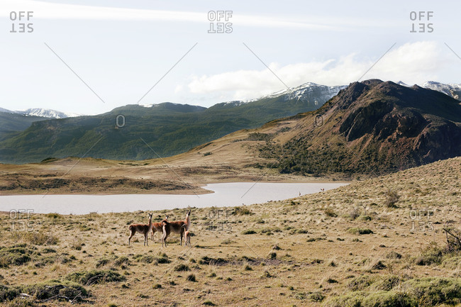 Llamas standing nearby a lake