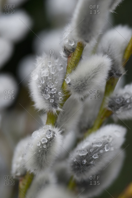 Pussy willows with ice, close-up