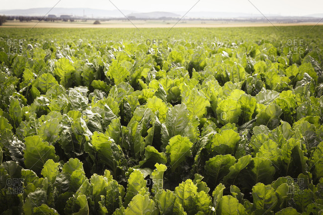 Sugar beet field, Beta vulgaris subsp. vulgaris