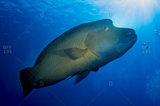 Oceania, Palau, Napoleon fish, Cheilinus undulatus