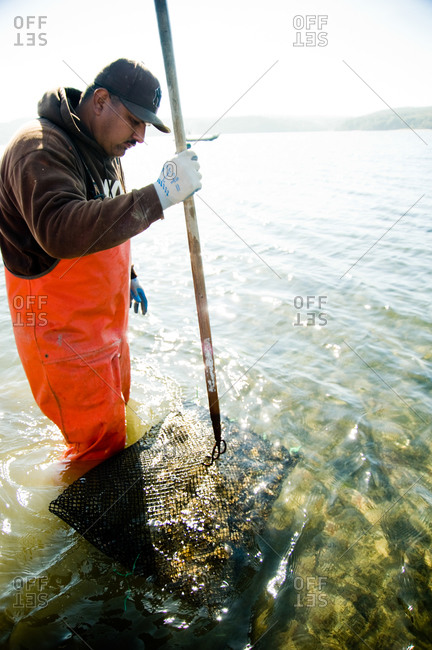 Fisherman harvesting oysters in a farm