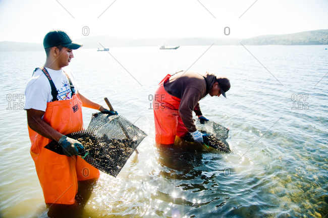 Men harvesting oysters in a farm