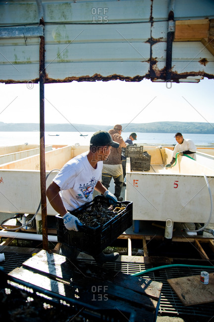 October 21, 2011 - Point Reyes, Calfornia: Fishermen processing freshly harvested oysters