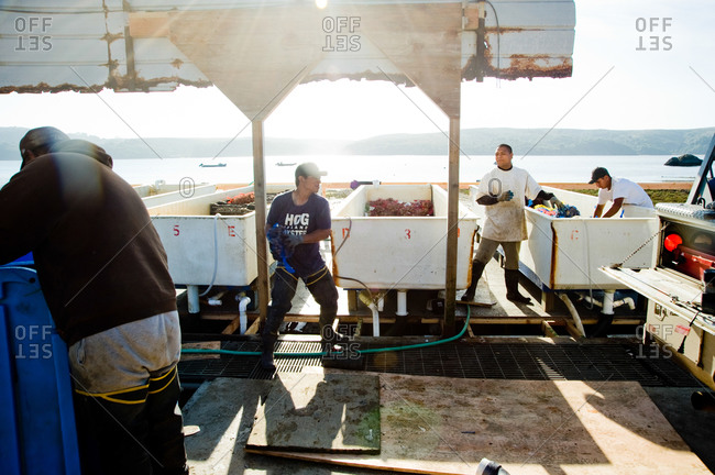 October 21, 2011 - Point Reyes, Calfornia: Fishermen filling tanks with oysters