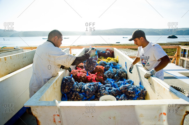 October 21, 2011 - Point Reyes, Calfornia: Men sorting bags of oysters in a holding tank