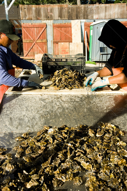 October 21, 2011 - Point Reyes, Calfornia: Men sorting fresh oysters