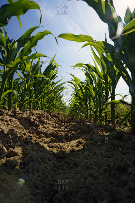 Rows of young maize plants