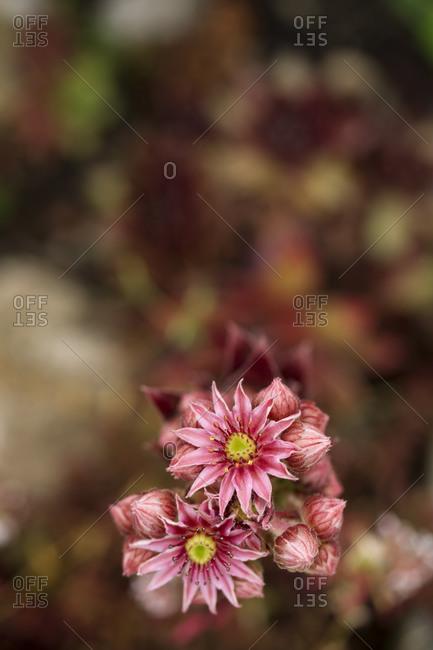 Common houseleek, Sempervivum tectorum, Flower