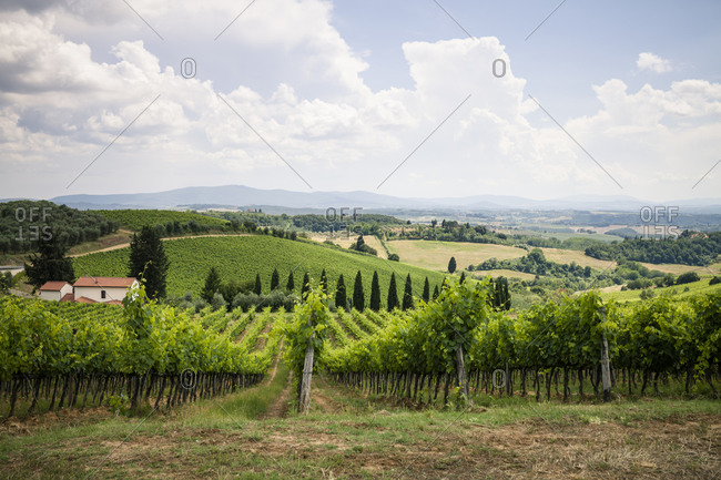 Tuscan landscape with grape vines