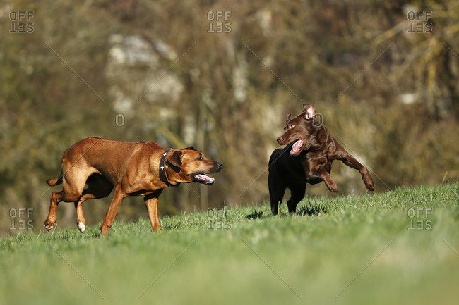 Rhodesian Ridgeback and brown Labrador Retriever, Canis lupus familiaris, play fighting on a meadow