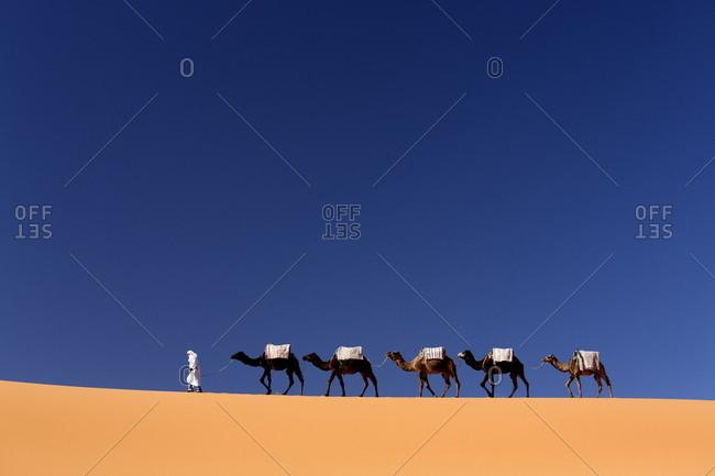 Morocco - November 18, 2013: Berber man leading a train of camels over the orange sand dunes of the Erg Chebbi sand sea, Sahara Desert near Merzouga
