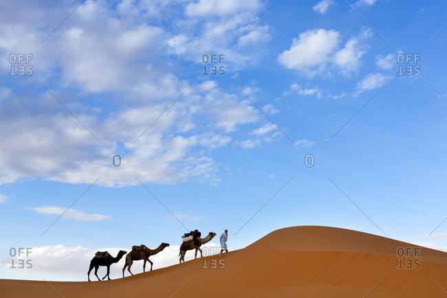 Morocco - November 17, 2013: Berber man leading a train of camels over the orange sand dunes of the Erg Chebbi sand sea, Sahara Desert near Merzouga