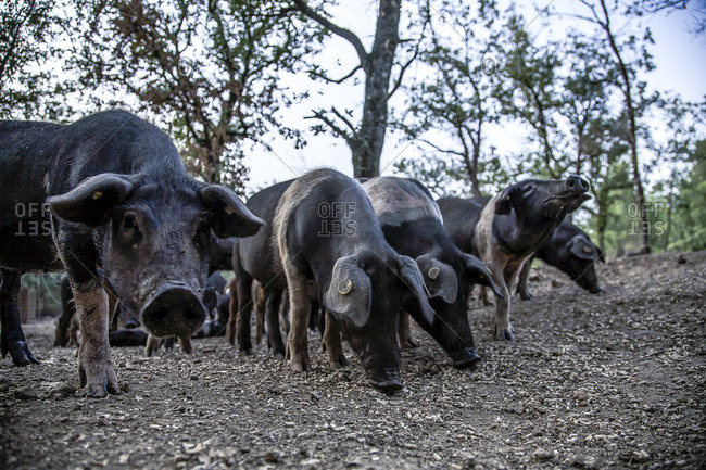 Cinta Senese pigs in the countryside of Italy