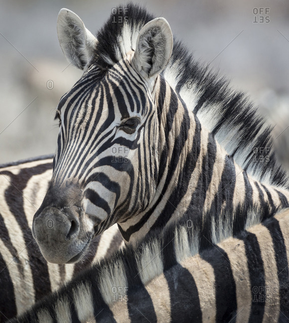Close-up of zebra head between two other zebras